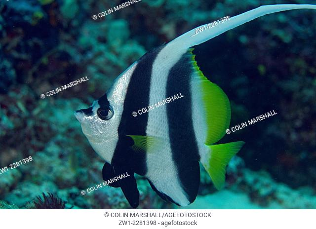 Longfin Bannerfish (Heniocus acuminatus) with long dorsal fin, Golden Passage dive site, Gili Lawa Darat Island, north of Komodo Island, Komodo National Park