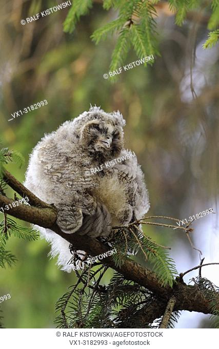 Long eared Owl ( Asio otus ), young fledgling, roosting in a conifer, cleaning its feathers, funny guy, wildlife