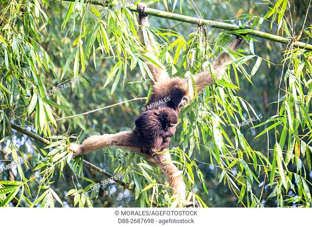 South east Asia, India, Tripura state, Gumti wildlife sanctuary, Western hoolock gibbon (Hoolock hoolock), adult female with baby