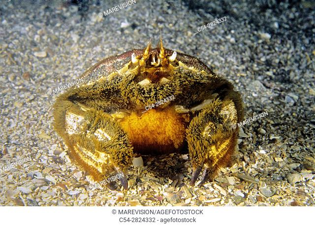 Ovate crustacean. Ovate Circular crab (Atelecyclus undecimdentatus). Eastern Atlantic. Galicia. Spain
