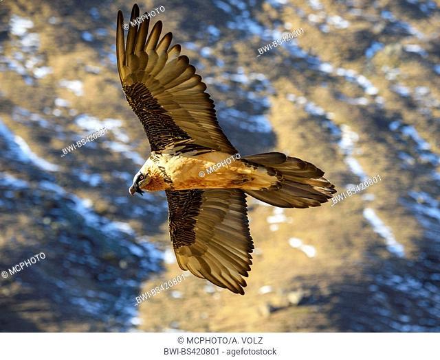 Lammergeier, Bearded Vulture (Gypaetus barbatus), flying along a mountain side, Italy, South Tyrol