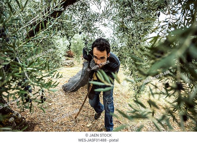 Spain, man pulling net in olive grove