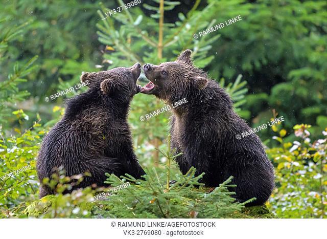 Brown Bear, Ursus arctos, Cubs fletching teeth, Bavaria, Germany