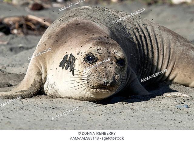 Northern Elephant Seal (Mirounga angustirostris) cow, with flies on face, San Simeon State Beach, California, USA