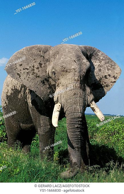 African Elephant, loxodonta africana, Adult in Amboseli Park, Kenya