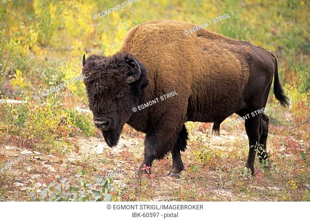 Bison or buffalo, lat: bison bison, in the forest of Wood Buffalo National Park, Northwest Territories, Canada