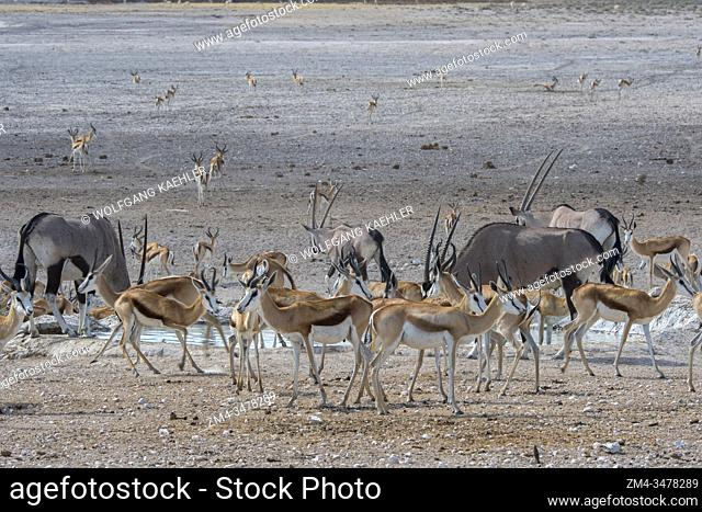 Gemsbok, gemsbuck or South African oryx (Oryx gazellaat) and Springboks (Antidorcas marsupialis) at a waterhole in Etosha National Park in northwestern Namibia