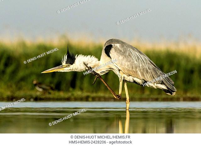 Hungary, Csongrad, Kiskunsagi National Park, Pusztaszer, Grey Heron (Ardea cinerea), fishing