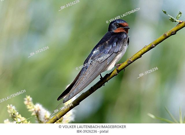 Barn Swallow (Hirundo rustica), Mecklenburg-Western Pomerania, Germany