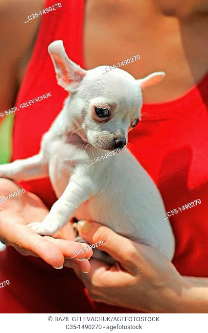 Dog Chihuahua Puppies