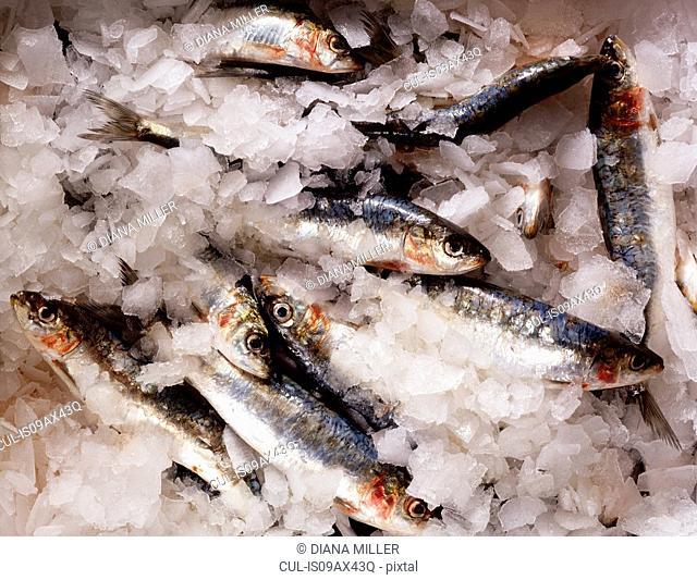 Fresh sardines in ice, close-up