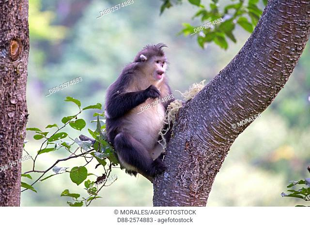 Asia, China, Yunnan province, Yunnan Snub-nosed Monkey Rhinopithecus bieti, in a tree