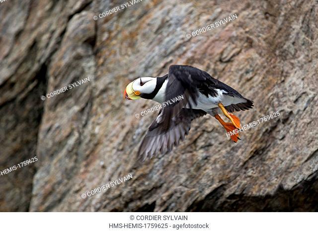 Russia, Chukotka autonomous district, Bering sea, Kolyuchin island, Horned Puffin (Fratercula corniculata), in flight