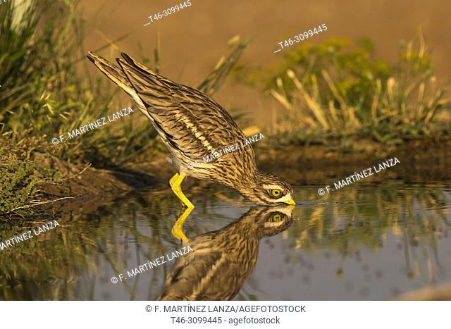 Common Rosewood (Burhinus oedicnemus). Drinking in a pond at dawn photographed in Villacañas Castilla la Mancha Spain