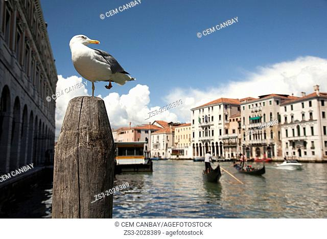 Seagull standing on a pole and posing, Gran Canal, Venice, Italy, Europe