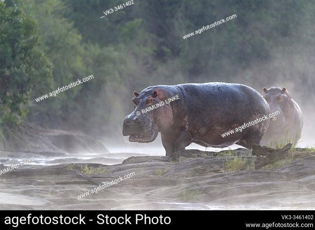 Hippos at sunrise on Olare Orok river, Masai Mara National Reserve, Kenya, Africa