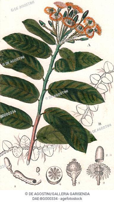Monkey paws (Marcgravia umbellata), colour copper engraving, retouched in watercolour, 9x15 cm, from Dizionario delle scienze naturali compilato da vari...