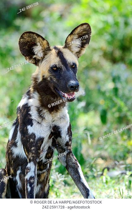East African wild dog (Lycaon pictus lupinus). Ngorongoro Conservation Area (NCA). Tanzania