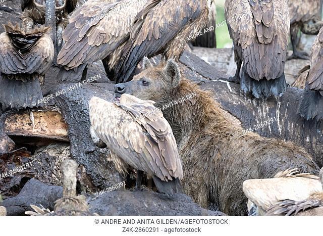 White-backed vultures (Gyps africanus) and Spotted Hyena (Crocuta crocuta) feeding on the carcass of an elephant, Maasai Mara national reserve, Kenya