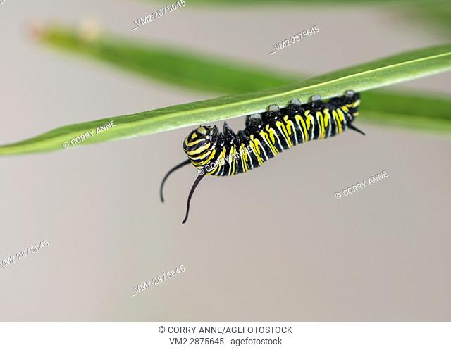 A late stage monarch caterpillar on the underside of a milkweed leaf, on a plain greyish background - New Zealand