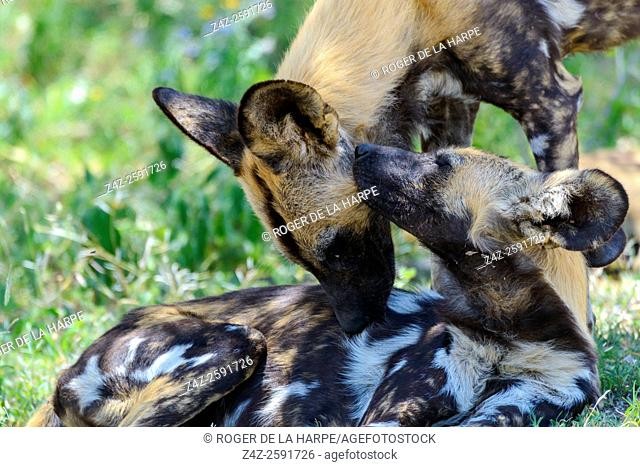 East African wild dog (Lycaon pictus lupinus) grooming each other. Ngorongoro Conservation Area (NCA). Tanzania