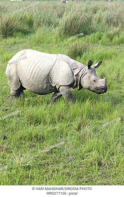 Rhino one horned Rhinoceros unicornis in Kaziranga national park , Assam , India