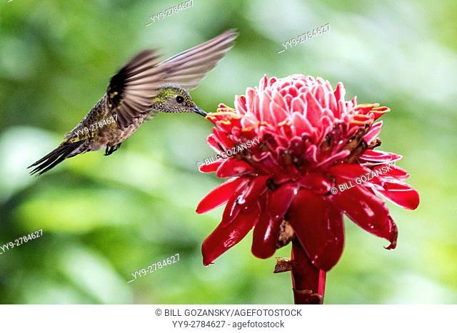 Scaly-breasted Hummingbird (Phaeochroa cuvierii) - Boca Tapada, San Carlos, Costa Rica