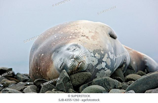 Weddell Seal on Aitcho Island
