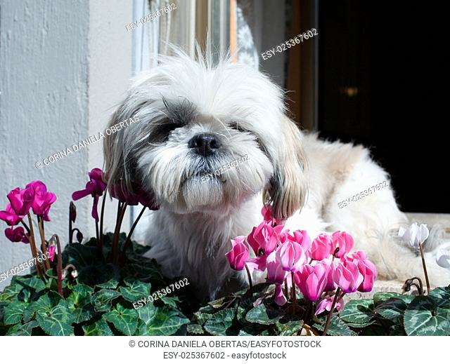 Small long hair havanese dog in a balcony with cyclamen flowers