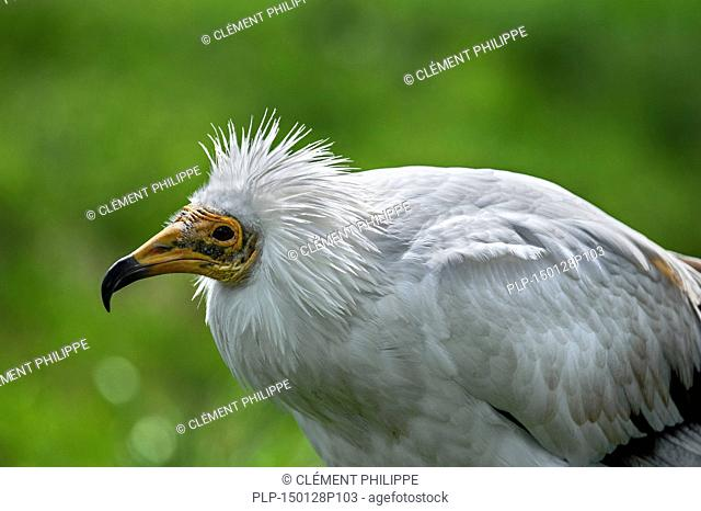 Egyptian vulture / white scavenger vulture (Neophron percnopterus) close up