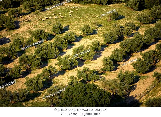 Sheep graze in an olive orchard near Prado del Rey village, Cadiz province, Andalusia