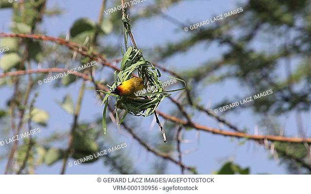 Village Weaver, ploceus cucullatus, Male working on Nest, Bogoria Park in Kenya, Real Time