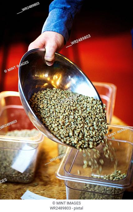 Specialist coffee shop. A person pouring green natural state coffee beans into a tub