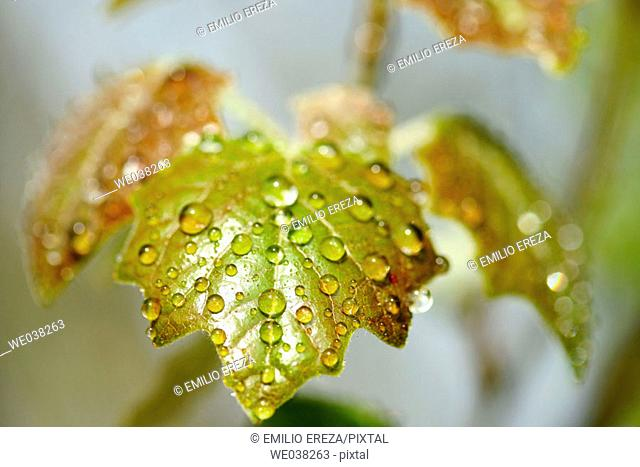 Water drops on White Poplar (Populus alba 'Bolleana') leaves