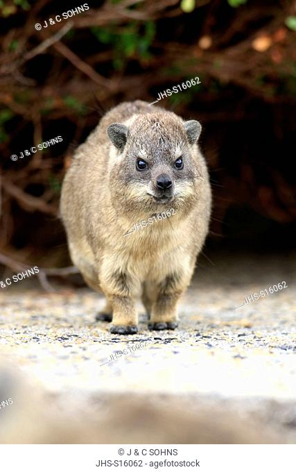 Rock Dassie, (Procavia capensis), young, Betty's Bay, Western Cape, South Africa, Africa