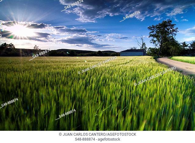 Cereal fields. La Rioja