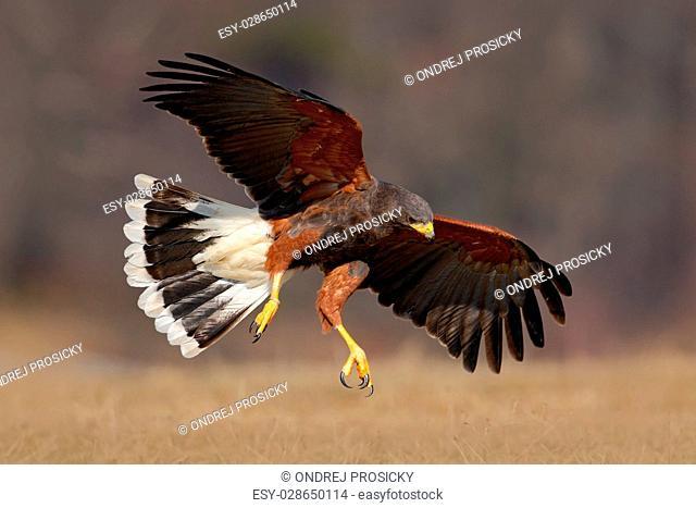 Flying bird of prey, Harris Hawk, Parabuteo unicinctus