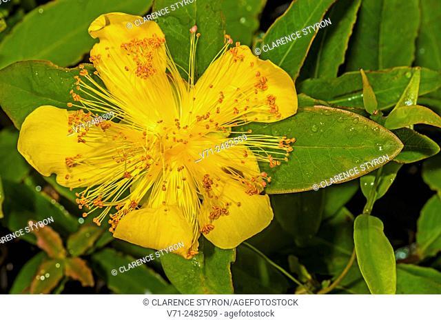 St. John's Wort (Hypericum reductum) in Flower