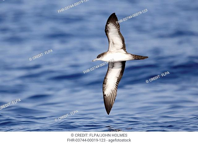 Wedge-tailed Shearwater (Puffinus pacificus) adult, in flight over sea, Izu Islands, Honshu, Japan, May