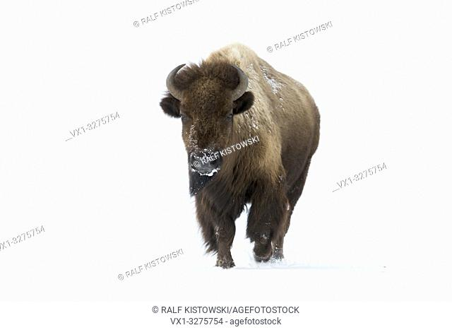 American bison ( Bison bison ) in winter, adult female, running directly towards the photographer, frontal view, Yellowstone area, Wyoming, USA.