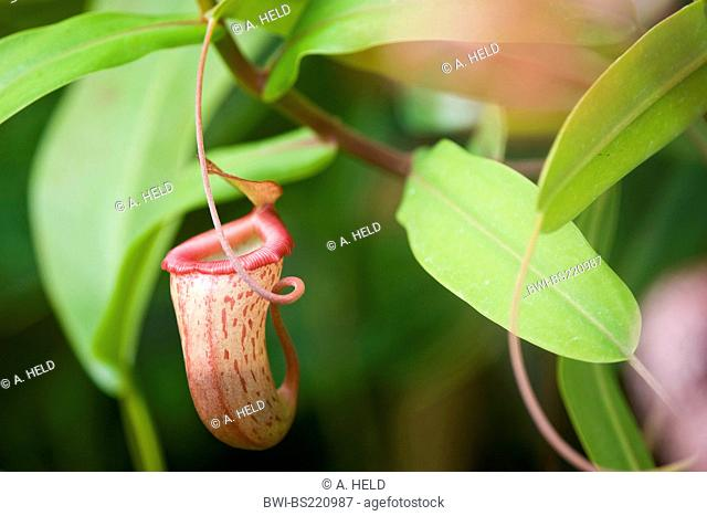 pitcher plant (Nepenthes alata), transformed leaf for catching insects, Malaysia