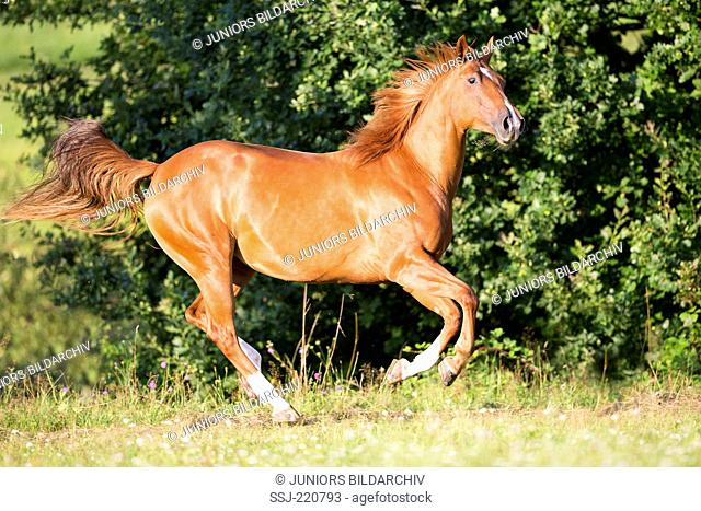 American Quarter Horse. Chestnut mare galloping on a pasture. Germany