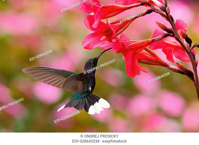 Blue hummingbird Violet Sabrewing