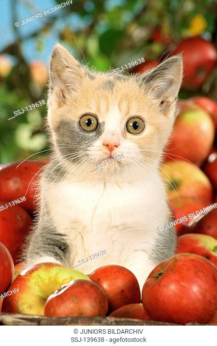 British Shorthair kitten in basket between apples