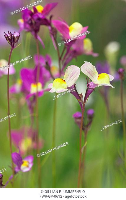 Fairy toadflax, Linaria moroccanan , Mixed colours subject