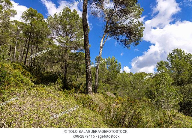 Pinar de Gracia, Llucmajor, Mallorca, balearic islands, spain, europe