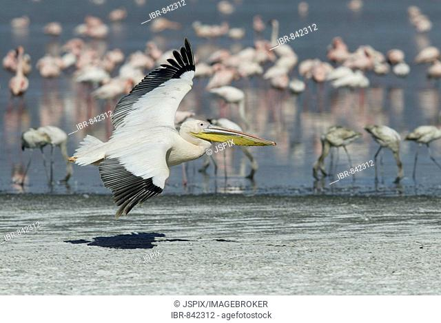 White Pelican, or Eastern White Pelican, or Great White Pelican (Pelecanus onocrotalus), adult flying low over the ground, Lake Nakuru, Kenya, Africa