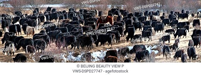 Cattle in Nuoergai,Sichuan province,China