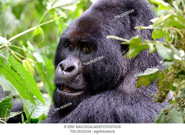 Portrait of male silverback Mountain gorilla (Gorilla beringei beringei) Virunga National Park, Democratic Republic of Congo, Africa