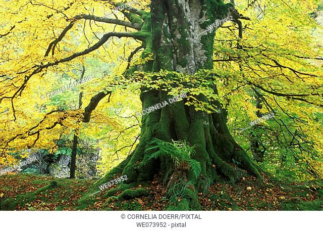 Old beech tree in autumn, Tayside, Highlands, Scotland, UK